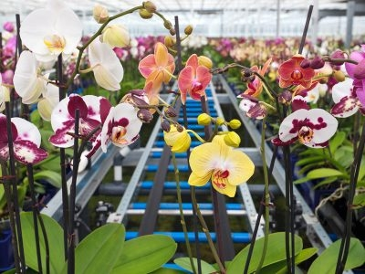 ORCHID SHOW AND SALE