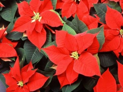 CHRISTMAS IN THE GARDEN AND POINSETTIA SALE