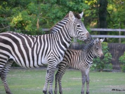 Baby Zebra Born at BREC's Baton Rouge Zoo!